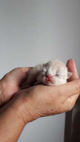 Filhote gato persa