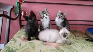 Filhotes gatos doação granja viana