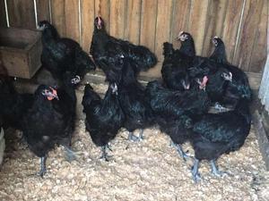 Frangas e frangos raça gigante negro jersey puros
