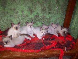 Gatinhos siameses e mestiços