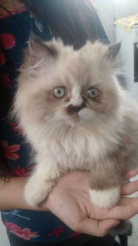 Gato persa - filhote