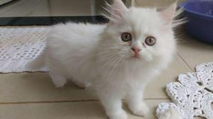Gato persa filhote machos