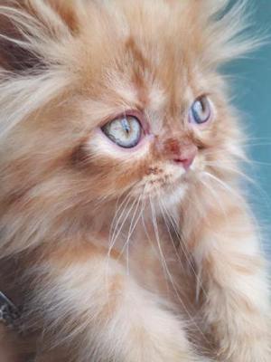Gato persa filhote