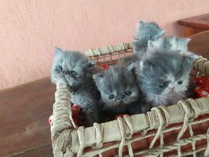 Gatos persa exótico