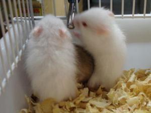 Hamster sírio albino - novo hamburgo