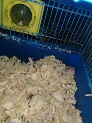 Hamster anao russo porquinho da india e twisters