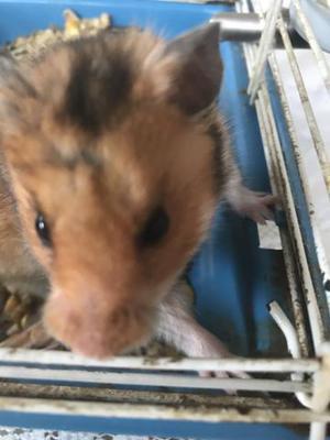 Hamster sírio a venda
