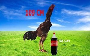 Indio gigante. (o nelore da avicultura) ariquemes - ro