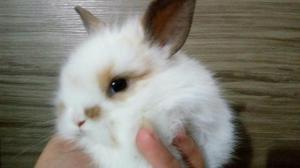 Mini coelhos fuzzy lop