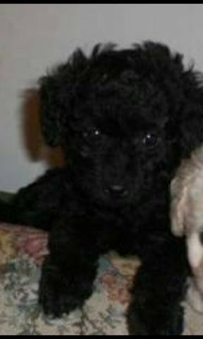 Poodle mini toy preto