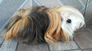 Porquinho da india de raça pêlo longo