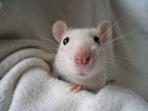 Roedores ratos brancos