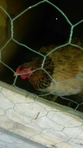 Troco galinhas caipiras por índia