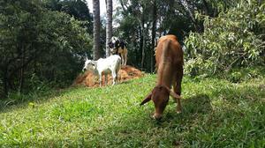 Vaca novilha bezerro e tourinho