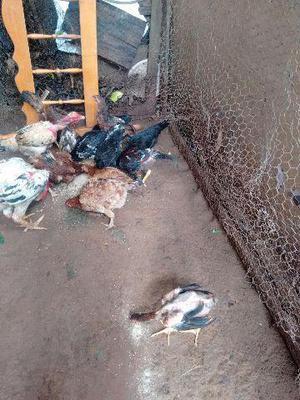 Vende-se galinhas caipira no montante