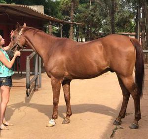 Vendo: cavalo puro sangue árabe. (com pedigree)