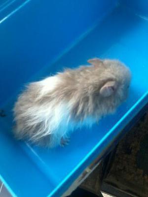 Vendo filhotes de hamster sirio angora