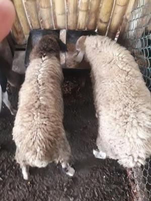 Vendo rebanho com 10 ovelhas