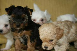 Cães - canil várias raças