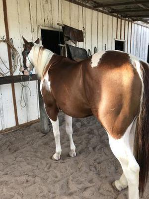 Cobertura de cavalo paint horse
