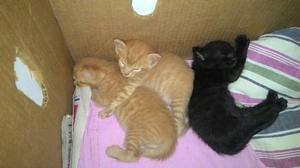 Doação gatos tigrados e preto 1 mês