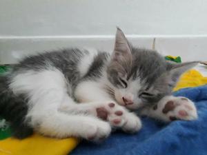 Doaçao gatinho mestiço persa com viralata