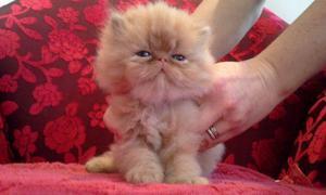 Filhote de gato persa padrão chow - parcelado ate 12x