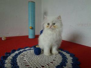 Filhote gato persa branco