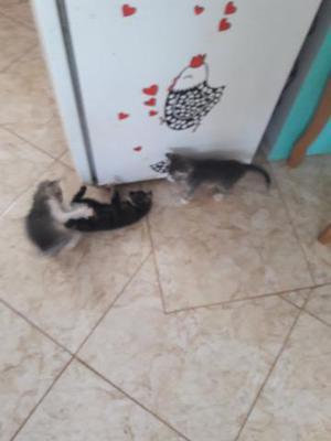 Gatinhos 1 macho 2 fêmeas