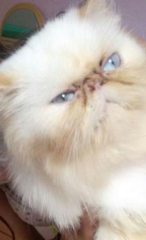 Gato persa padrão pet