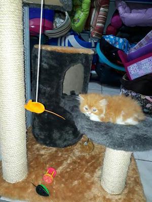 Gato persa macho branco e laranja em 10x de 120,00