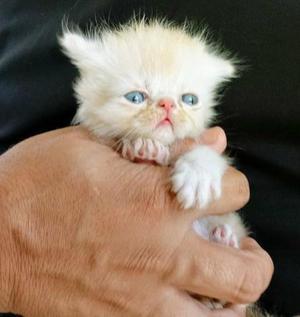 Leia! Gatos Persas puros e lindos.Confira!