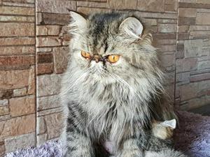 Vendo filhotes de gato persa