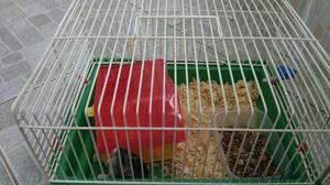2 hamster chinês e duas gaiolas