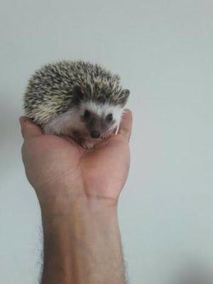 Alguem com hedgehog para vender?