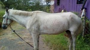 Cavalo bom castrado