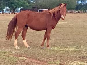 Cavalos, éguas, potros, potras, pônei