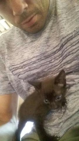 Doação de gatos filhotes de siames
