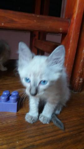 Doação gatinha (2 meses)