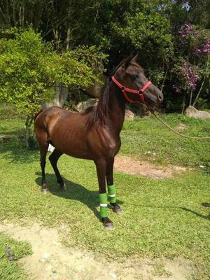 Egua preta, segue prenha, imperdível!!!