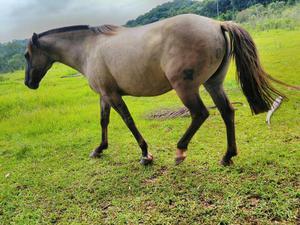 Egua crioula de patrao