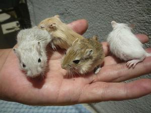 Esquilos da mongólia (gerbil)