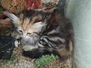 Filhote de gato persa - fêmea linda