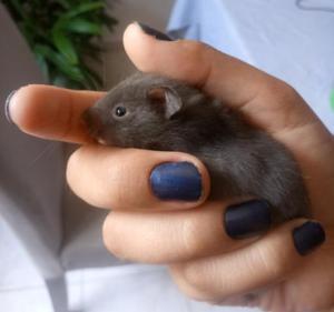 Filhotes de hamster sirio