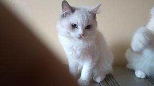 Gato ragdoll fêmea 3 meses