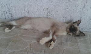Gato siamês para doação