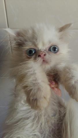 Gato persa branco olhos azuis