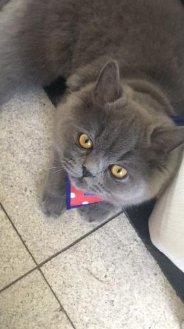 Gato persa quer namorada