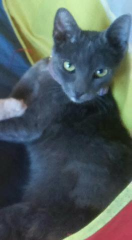 Gatos blue castrados