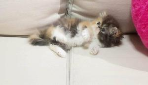 Gatos persase exóticos com pedigree